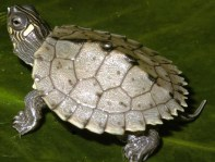 juvenile-mississippi-map-turtles-graptemys-pseudogeographica--1387-p