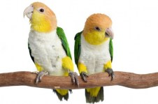 white-bellied-caique